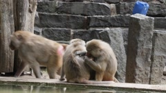 Baboons Grooming eachother Stock Footage