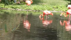Group of  Flamingo on green nature background. Stock Footage
