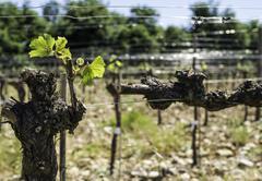 Budding vineyards Stock Photos