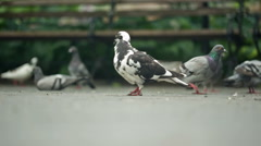Pigeons and Bench - Birds in Washington Square Park Manhattan New York City NYC Stock Footage