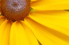 a quarter of the big yellow flowers as background - stock photo