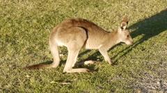 Kangaroo Eating Grass Stock Footage