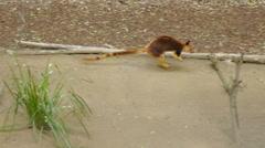 Tree Kangaroo Slow Motion - stock footage