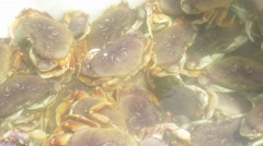 Dungeness Crab in bin with water Stock Footage
