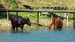 Cow is drink water on lake Stock Footage