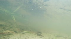 Newts stolidly sitting in water Stock Footage