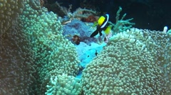 Clarkii clownfish Stock Footage