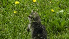Tabby kitten delicately smells a flower Stock Footage