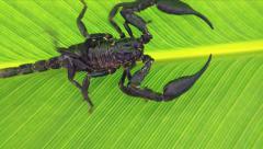 Scorpion in jungle rain forest. Venomous animal Heterometrus Stock Footage