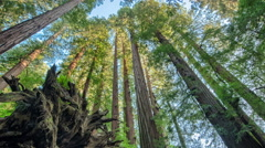 Redwood Uprooted Tree Timelapse Stock Footage