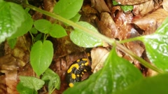 Salamander hiding in foliage Stock Footage