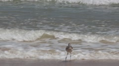Willet Bird Searching for Food Along the Seashore Stock Footage
