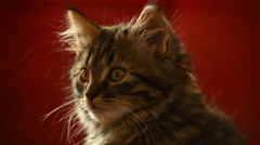 Tabby kitten watching - close up portrait Stock Footage