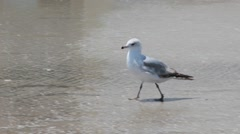 Ring-Billed Gull on the Beach Stock Footage