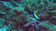 Blue-girdled angelfish and moorish idol Stock Footage