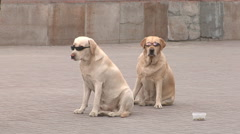 Stray dogs - stock footage