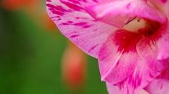 Violet gladiolus Stock Footage
