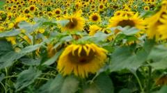 Sunflower field in the rain - stock footage