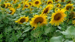 Sunflower field in the rain Stock Footage