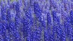Delphinum blooming in a variety of blue - full screen Stock Footage