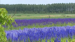 Blue Delphinum blooming in agricultural landscape - wide shot Stock Footage