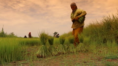 2014Thai farmers transplanting rice seedlings , Editorial video0731 Farmer 2 Stock Footage