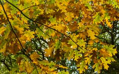 Maple autum colors Stock Photos