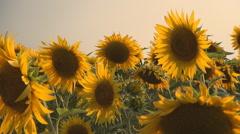Beautiful sunflower field, Summer sunflower field in sunset.  - stock footage