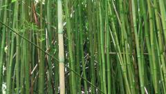 Bamboo forest on Manoa Fall trail, Honolulu, Hawaii. Stock Footage