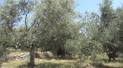 Mediterranean olive grove and blue sky in a summer day Stock Footage