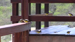 Caribbean birds: Bananaquit (Coereba Flaveola) Stock Footage