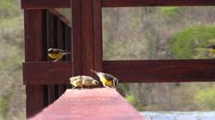Caribbean birds: Bananaquit (Coereba Flaveola)  2 Stock Footage