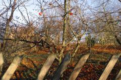 Apples in the garden Stock Photos