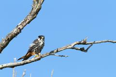 Stock Photo of eurasian hobby ( falco subbuteo ) standing  on branch over blue sky
