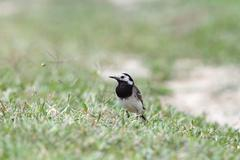 motacilla alba ( white wagtail ) standing on the ground, short depth of field - stock photo