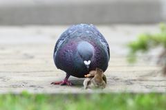 Feral pigeon ( columba livia ) disputing bread piece with house sparrow ( pas Stock Photos
