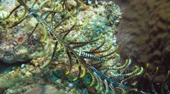 Crinoid shrimp close up Stock Footage