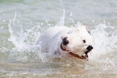 White bull terrier dog. - stock photo