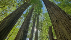 Timelapse Redwood Trees and Sun Stock Footage