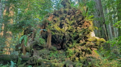 Redwood Timelapse Uprooted Giant Tree Stock Footage