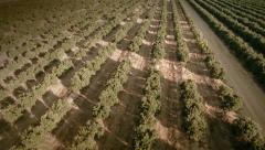 Aerial view of a field of orange trees. Seville, Spain. Stock Footage
