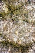 European ash - detail view of tree bark Stock Photos