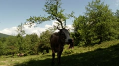 Horned cow in the shade of a large tree on a hot sunny day Stock Footage