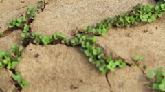 Dry cracked soil during a drought, Plants make their way during a drought Stock Footage