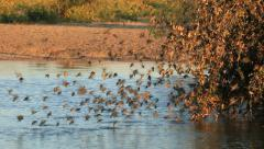 Red-billed Queleas drinking water on the wing Stock Footage