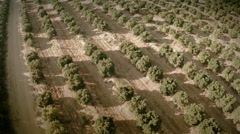 Aerial view of an orange trees field. Seville, Spain. Stock Footage