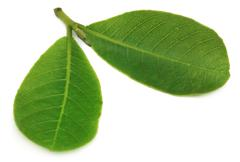 leaves of medicinal terminalia arjuna - stock photo