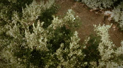 Aerial top view of an orange trees field. Slow motion. Seville, Spain. Stock Footage