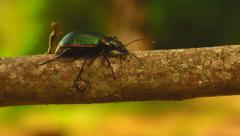 Beetle attacked by inch worm - stock footage