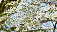 White dogwood tree branch moving in the wind in spring - stock footage